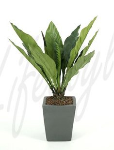Anthurium jungle king -    80