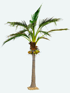 Coconut giant (6) Palm    510